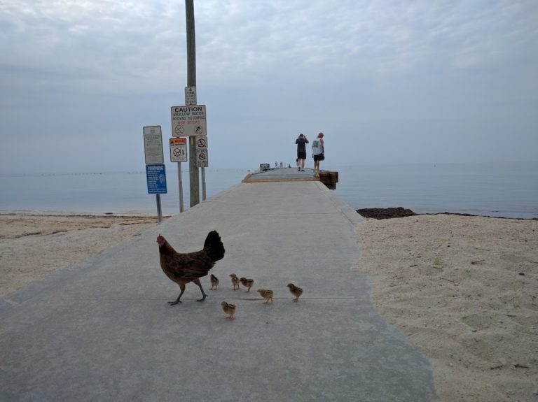 Chickens at beach Key West