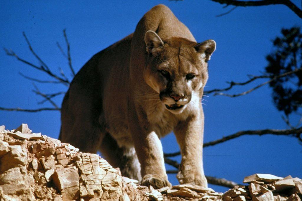 cougar - America versus Australia