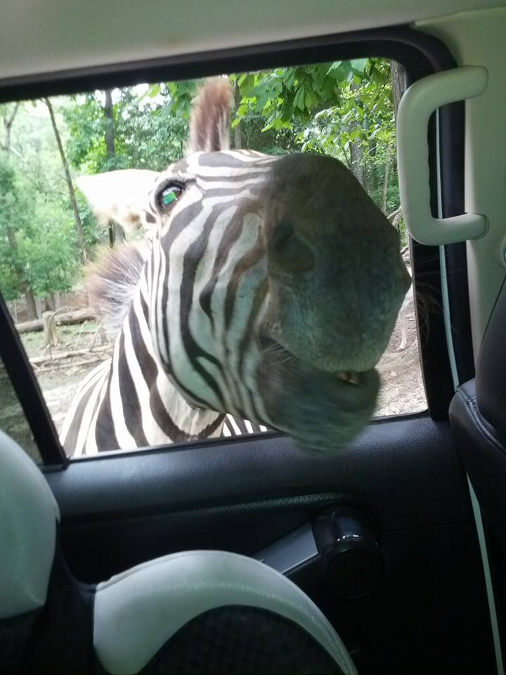 Image of zebra poking head through car window at safari ranch