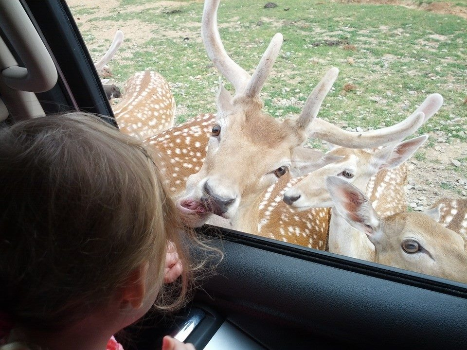 Image of deer at car window at safari ranch