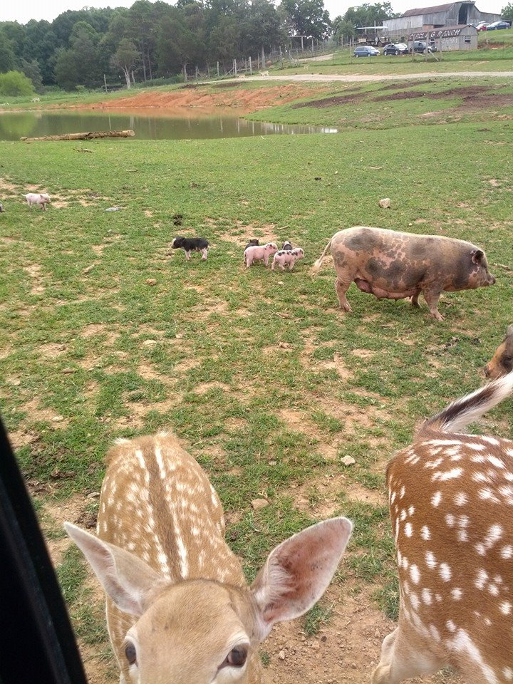 Image of pigs and deer at safari ranch