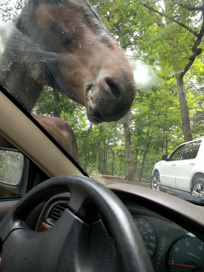 Image of a horse slobbering on car windscreen at safari ranch