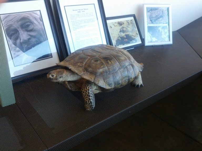 Tortoise taxidermy Red Rock Canyon