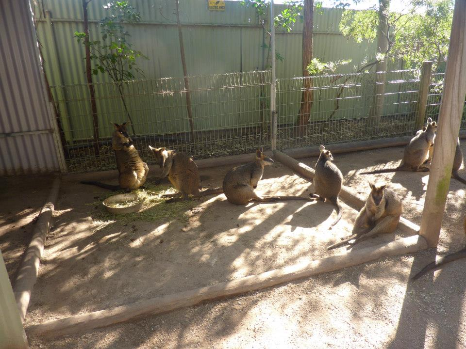 Wallabies at Featherdale Wildlife Park