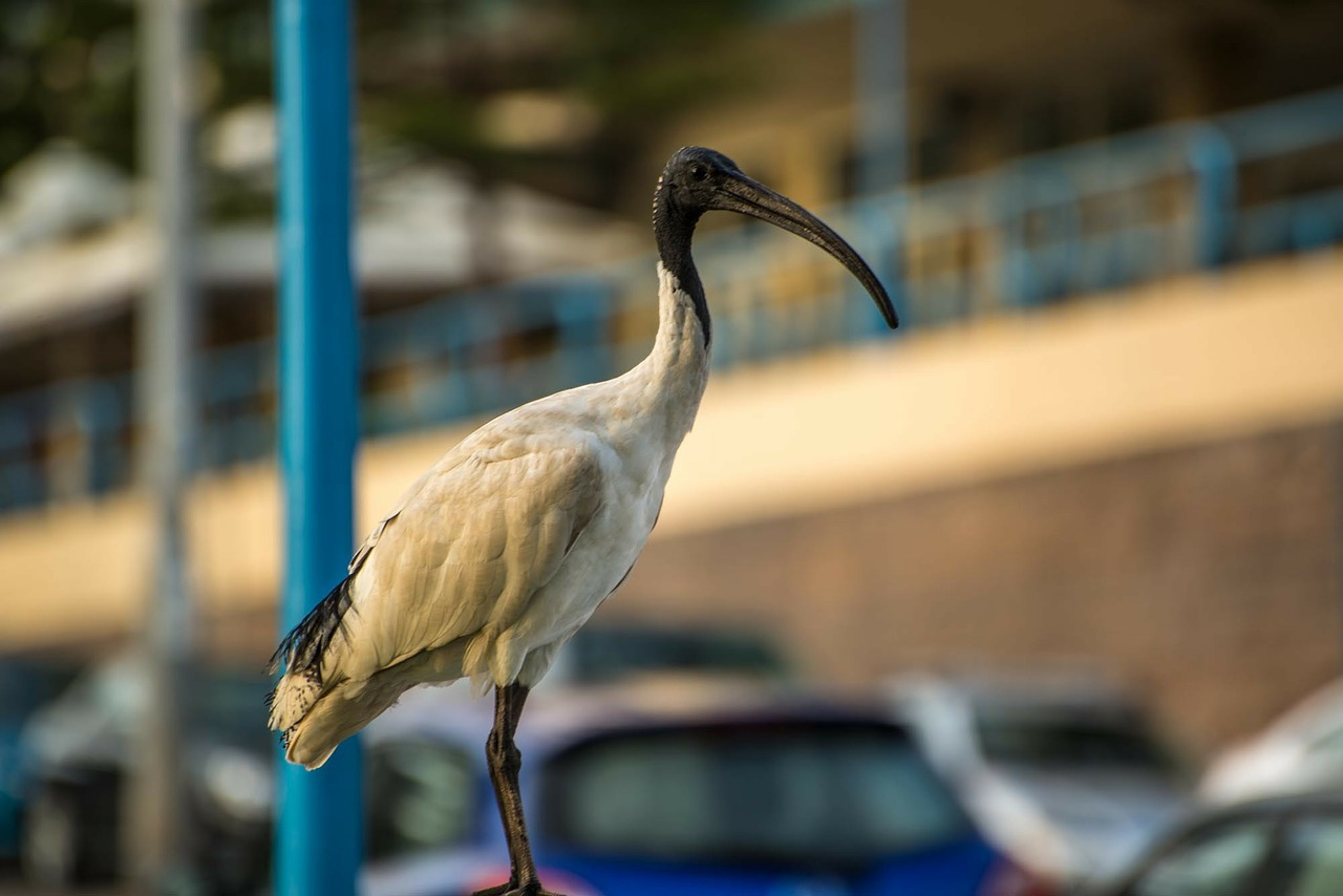 """Bin Chickens"" - Australian White Ibis"