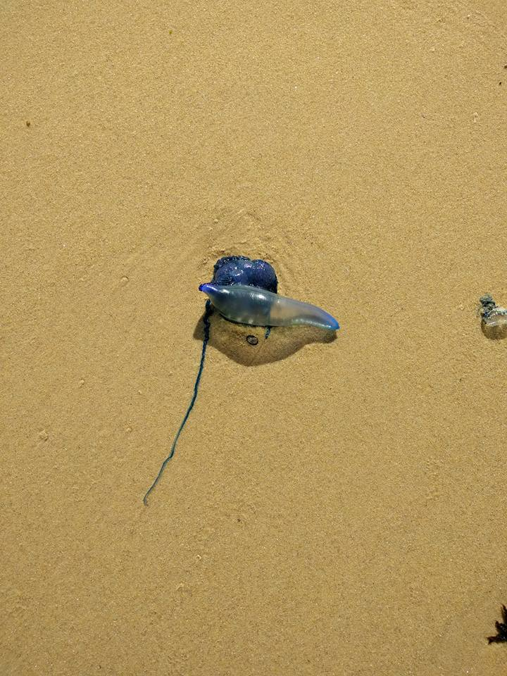 Nasty Australian Creatures - bluebottle